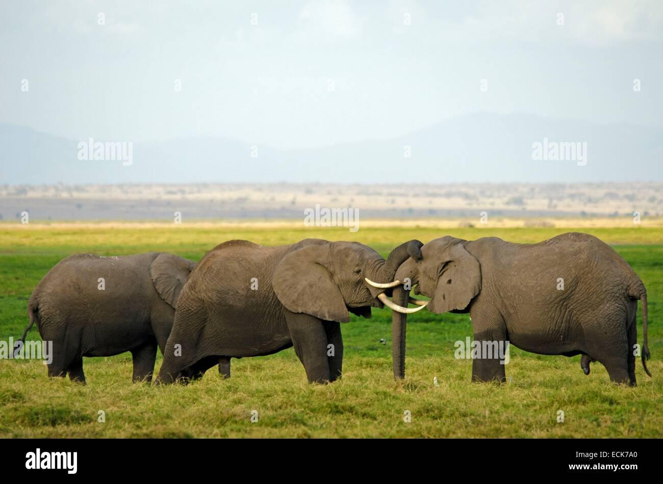 Kenya, Amboseli National Park, elephant (Loxodonta africana) kissing - Stock Image