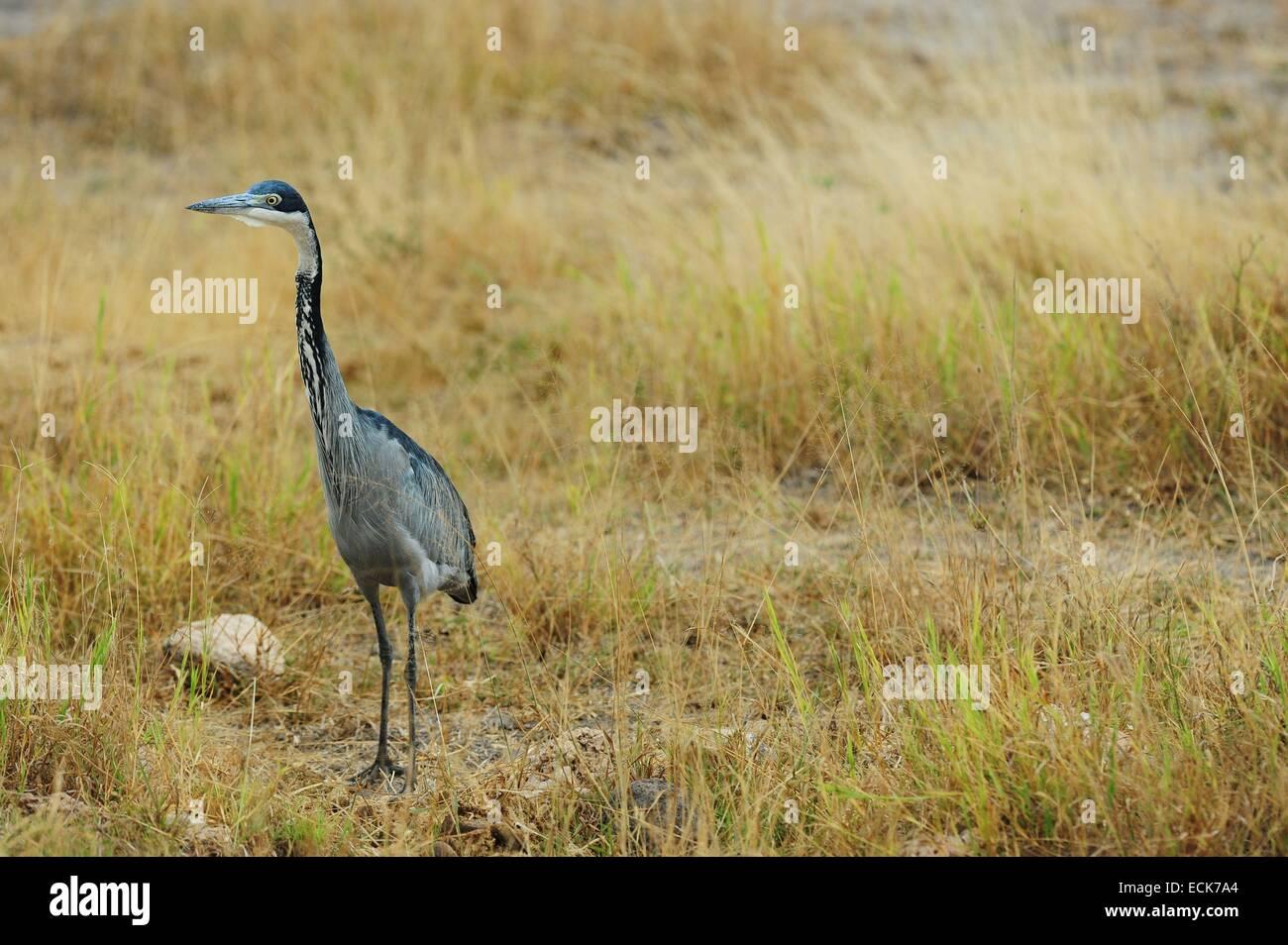 Kenya, Amboseli National Park, Black-Headed Heron (Ardea melanocephala) - Stock Image