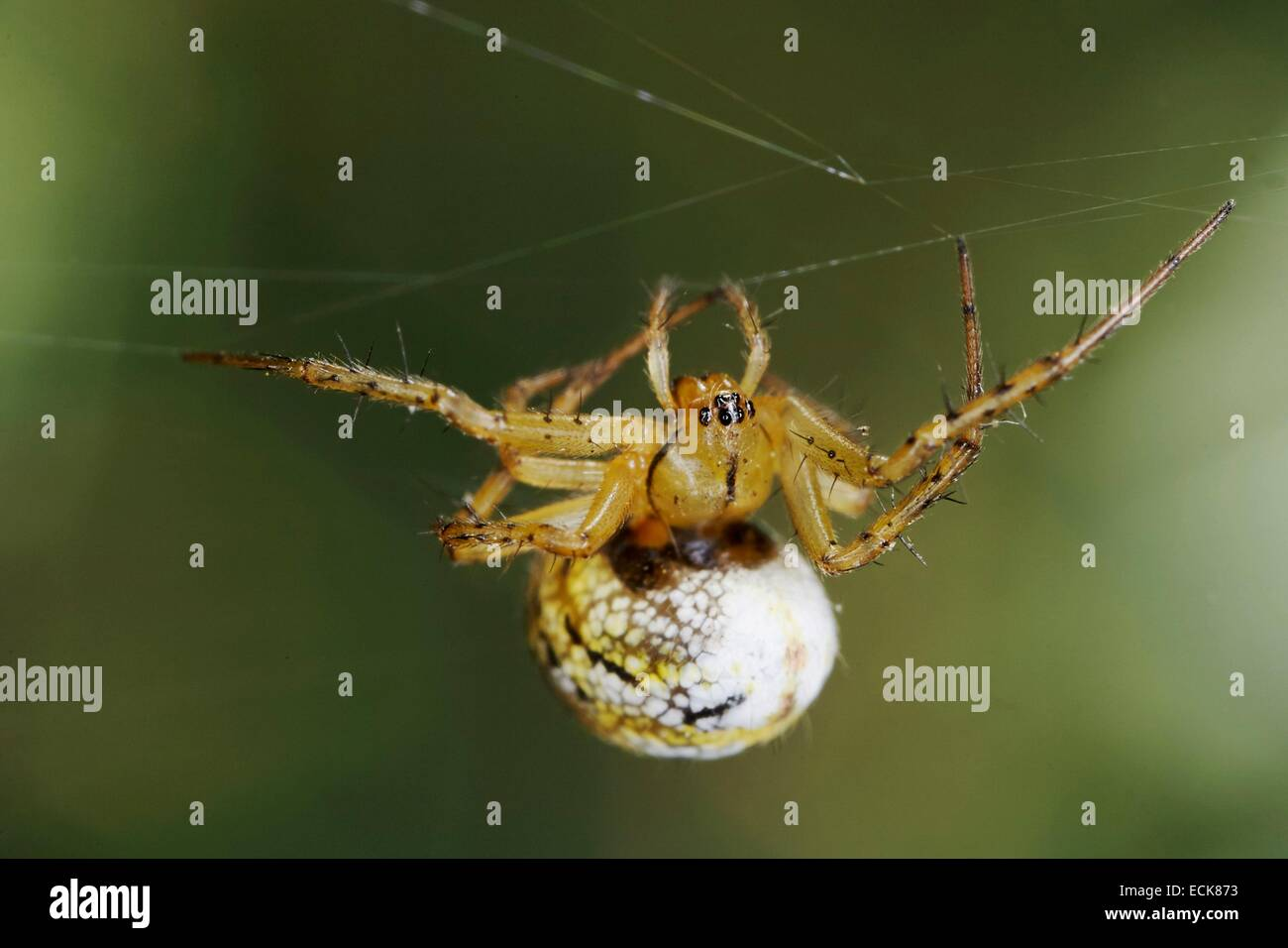 France, Araneae, Araneidae, Cricket-bat orb weaver (Mangora acalypha) hanging on a silk thread - Stock Image
