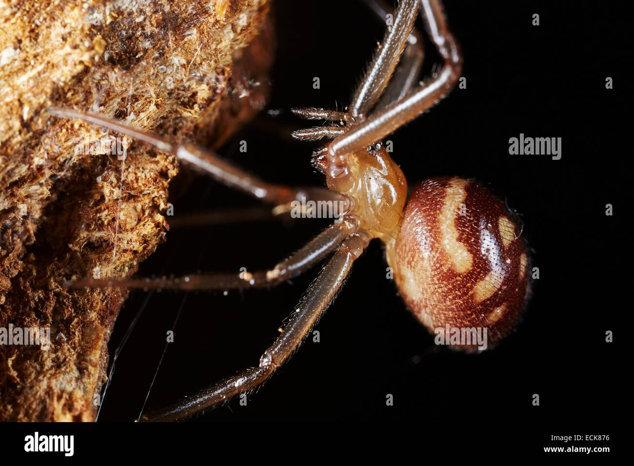 France, Paris, Araneae, Theridiidae, Dark comb-footed spider(Steatoda grossa), female - Stock Image