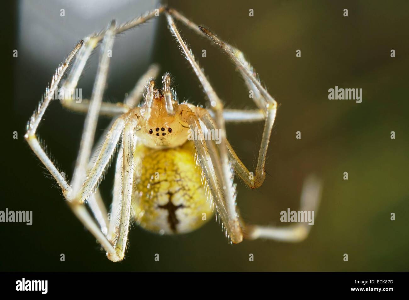 France, Araneae, Theridiidae, Candy stripeáspider (Enoplognatha ovata), Portrait of female - Stock Image