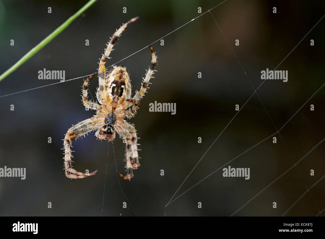 France, Araneae, Araneidae, European garden spider, Diadem spider, Cross spider, or Cross orbweave(r Araneus diadematus), - Stock Image