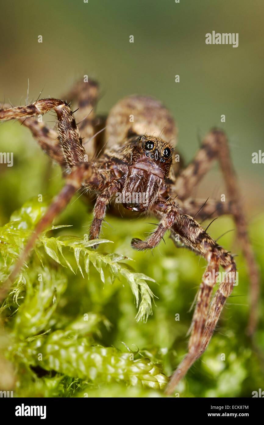 France, Araneae, Lycosidae, Wolf spider (Pardosa lugubris) - Stock Image