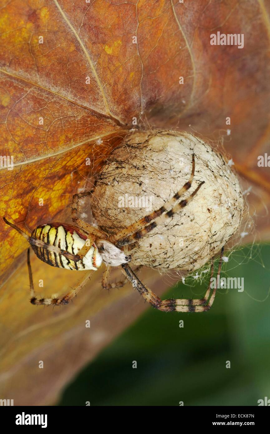 France, Araneae, Araneidae, Wasp spider (Argiope bruennichi), female and its cocoon - Stock Image