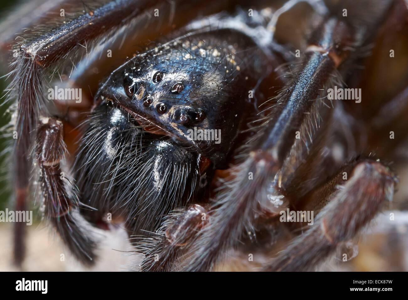 France, Araneae, Amaurobiidae, Spider, Black Lace-Weaver (Amaurobius ferox), portrait - Stock Image