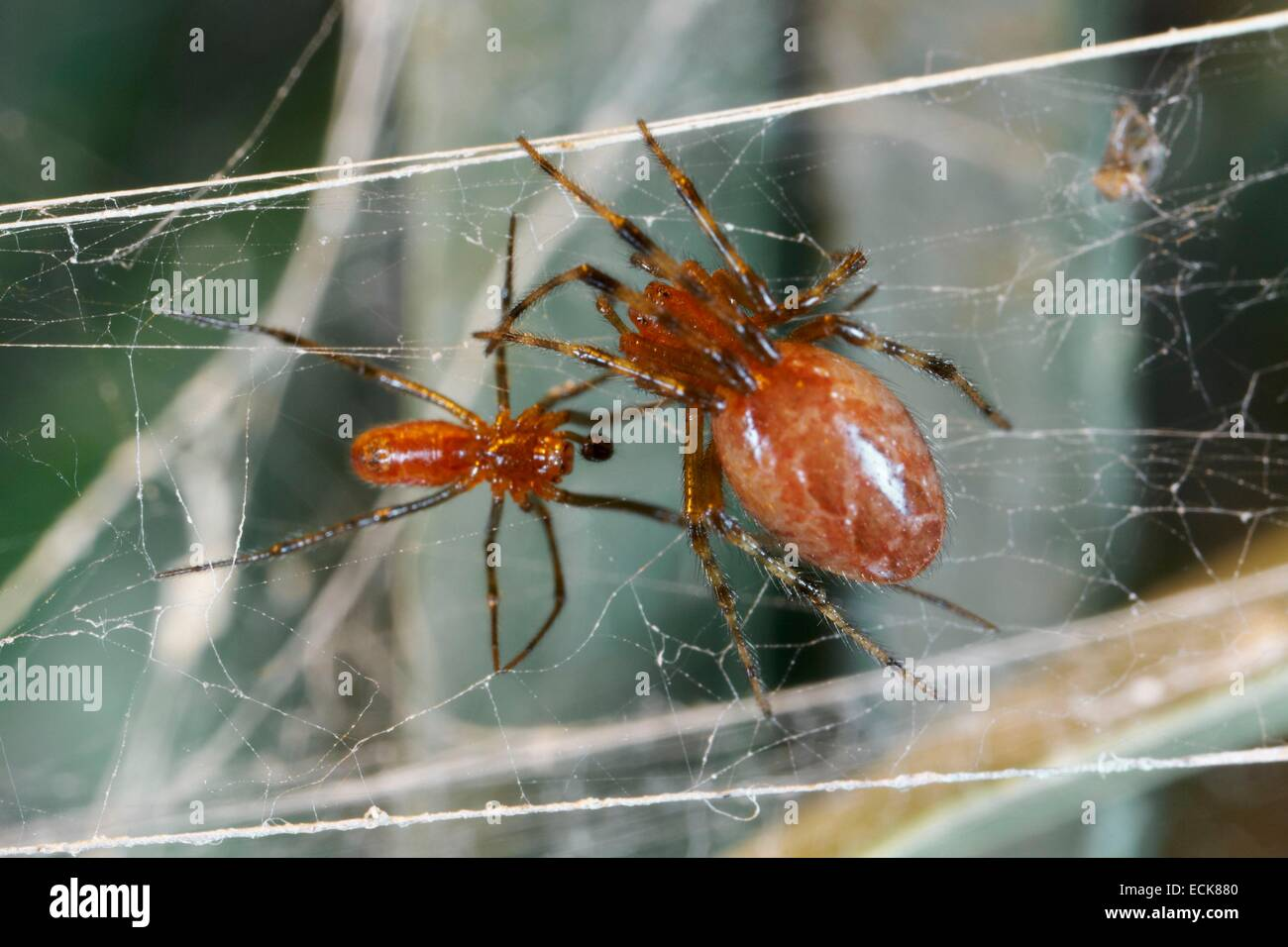France, French Guiana, Araneae, Theridiidae, social spider (Anelosimus eximius), male and female on their web - Stock Image
