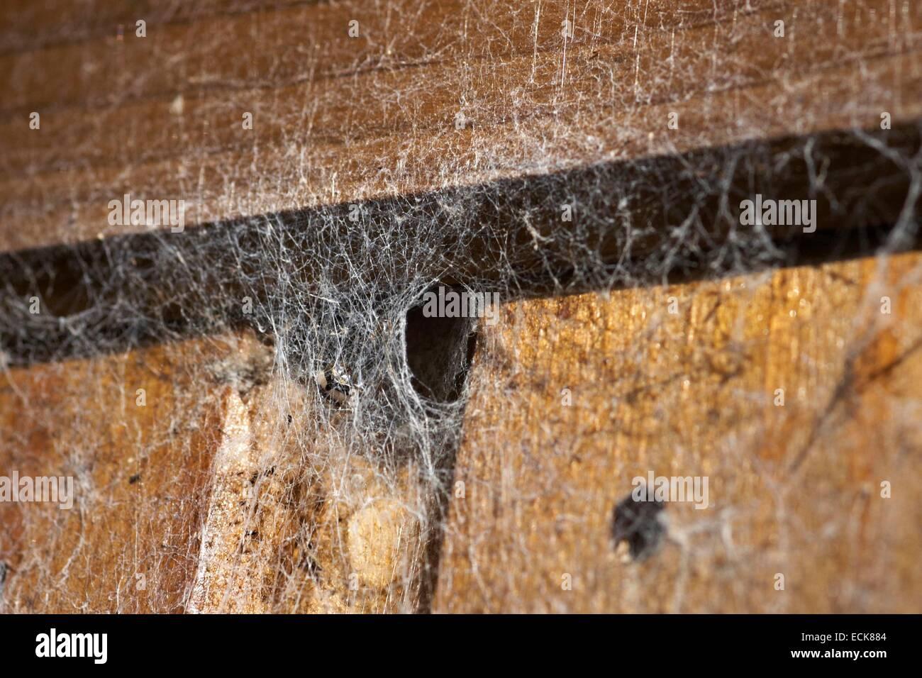 France, Araneae, Amaurobiidae, Lace-Weaver (Amaurobius sp), Web - Stock Image