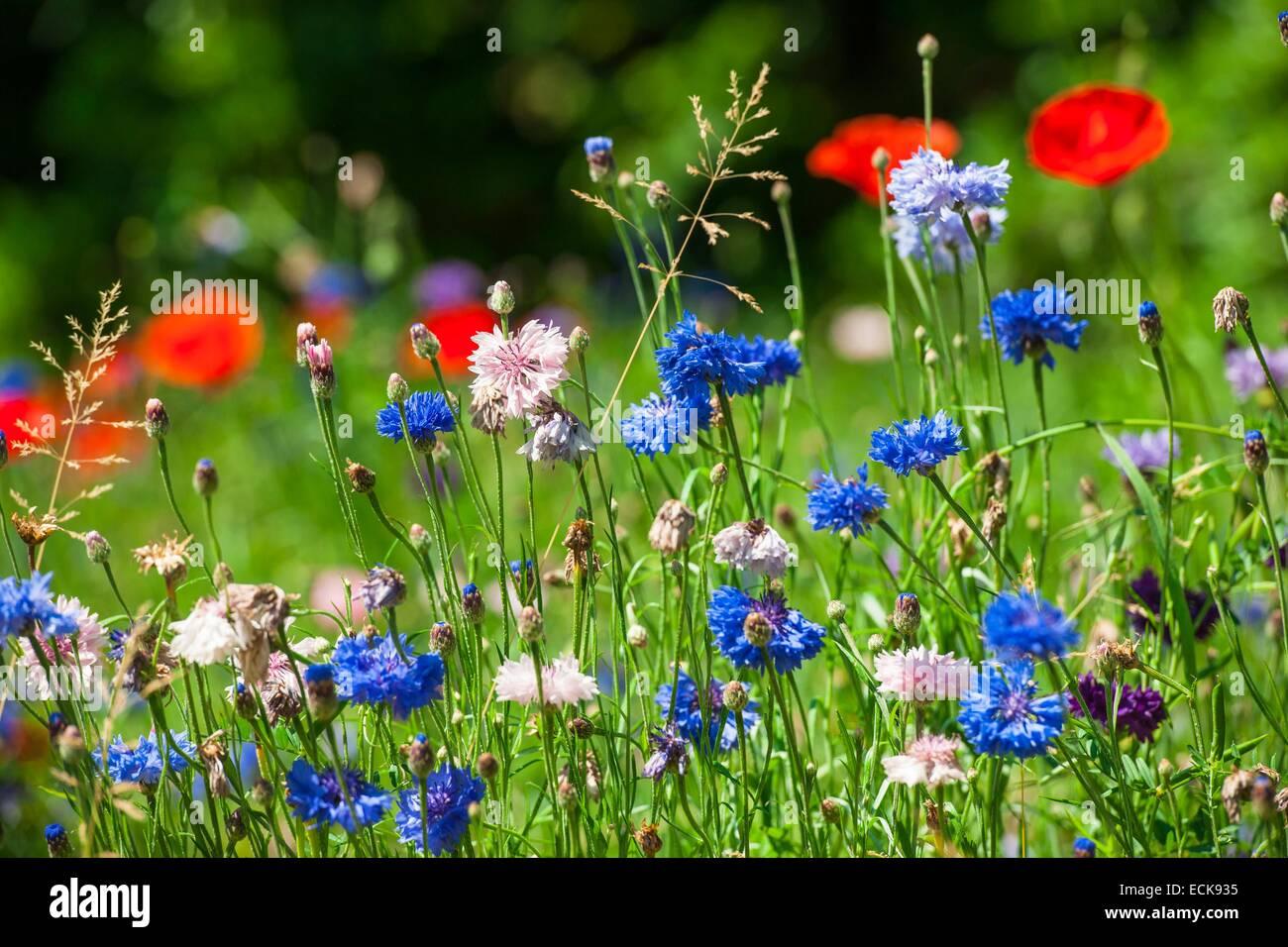 France, Isere, Grenoble, cornflowers (Centaurea cyanus) and poppies (Papaver rhoeas) Stock Photo