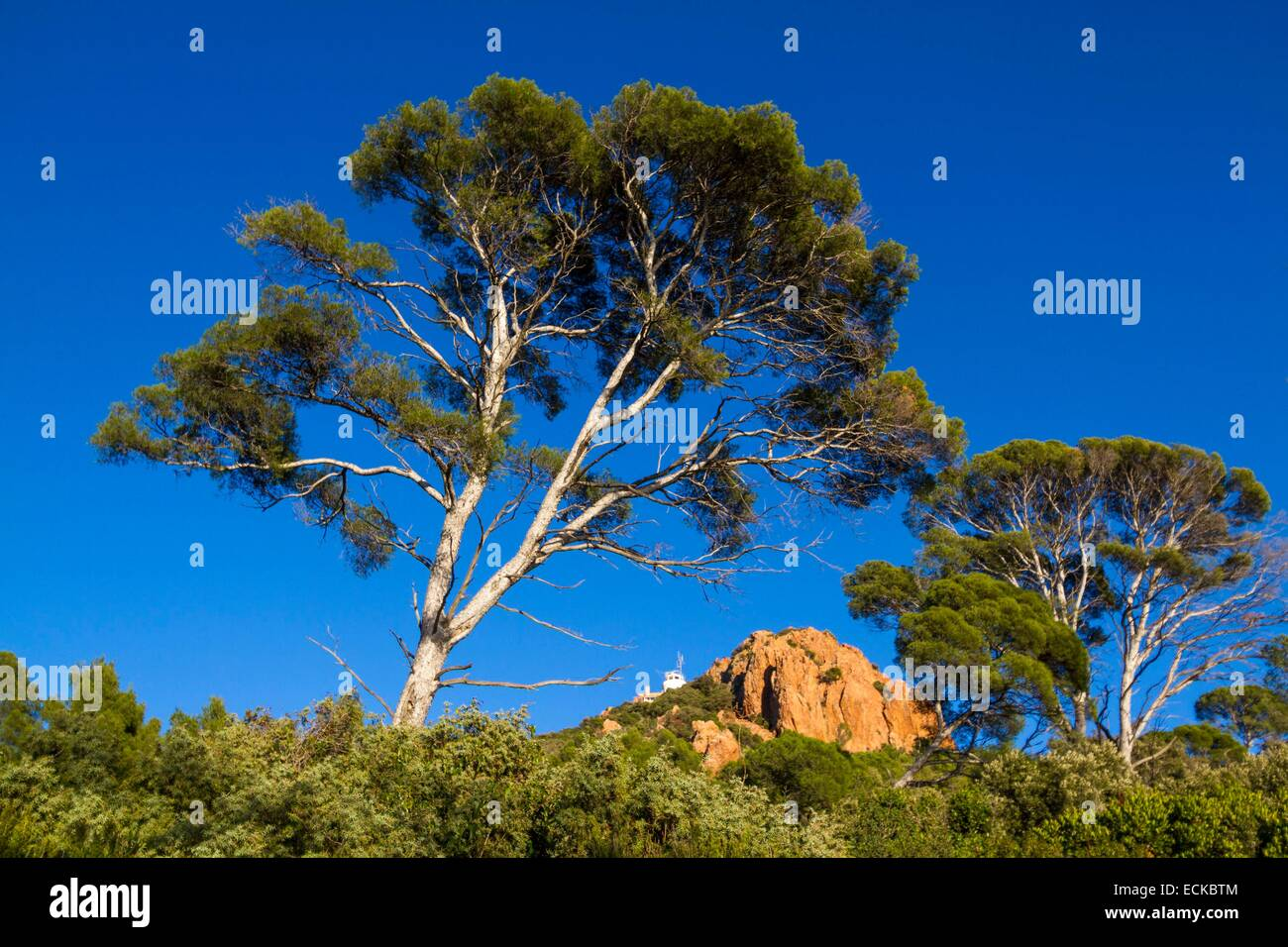 France, Var, Corniche de l'Esterel, Saint Raphael, afforestation of Aleppo Pine (Pinus halepensis) to the Cap - Stock Image