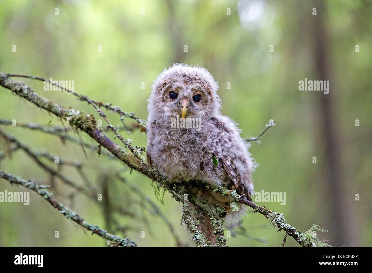 Finland, Kuhmo area, Kajaani, Ural owl (Strix uralensis, young just after he left the nest, perched on a branch Stock Photo