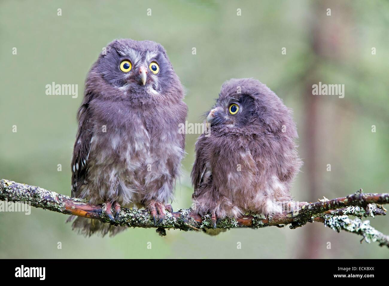 Finland, Kuhmo area, Kajaani, Boreal owl or Tengmalm's owl (Aegolius funereus), two youngs just after they left Stock Photo
