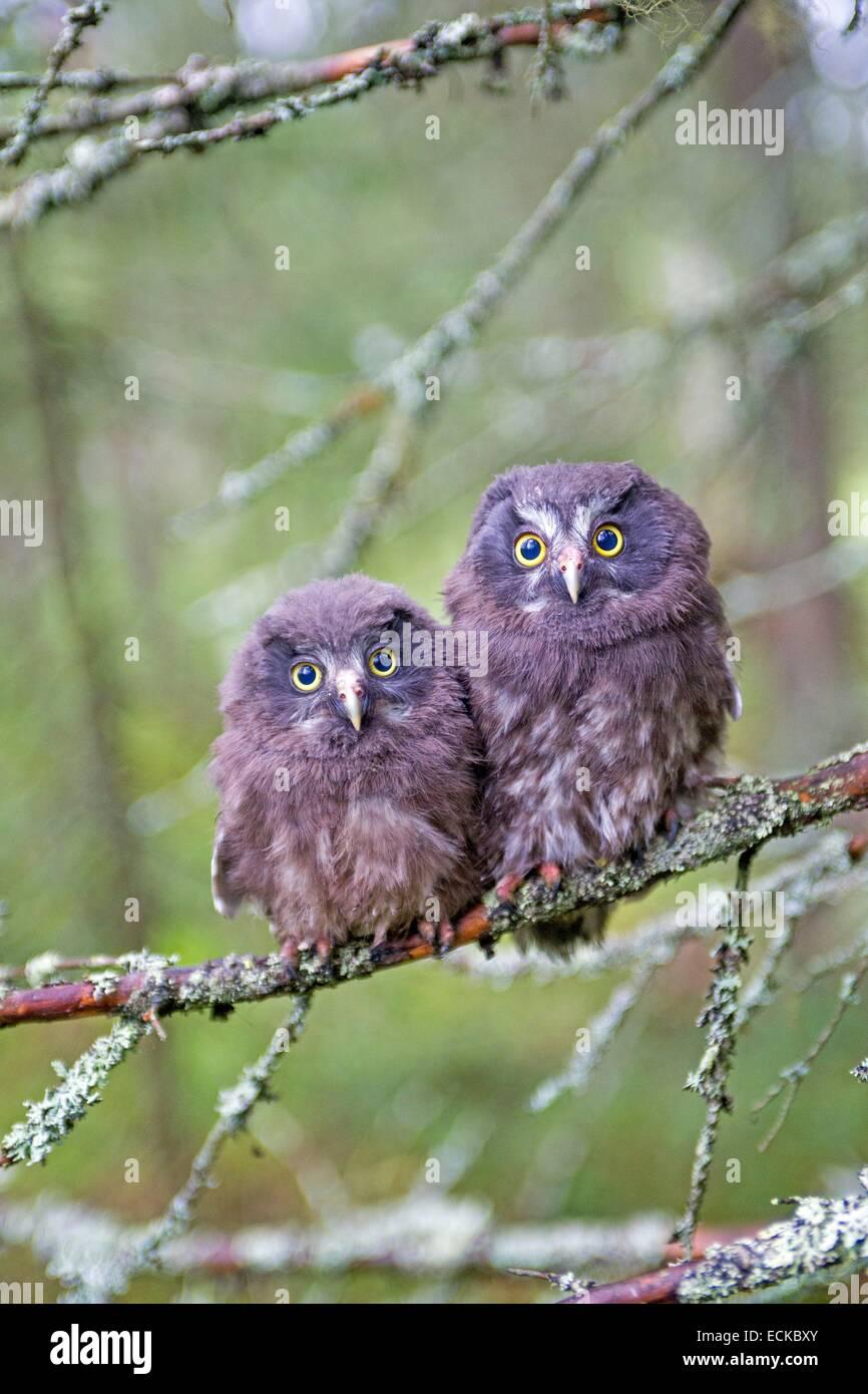 Finland, Kuhmo area, Kajaani, Boreal owl or Tengmalm's owl (Aegolius funereus), two youngs just after they left Stock Photo