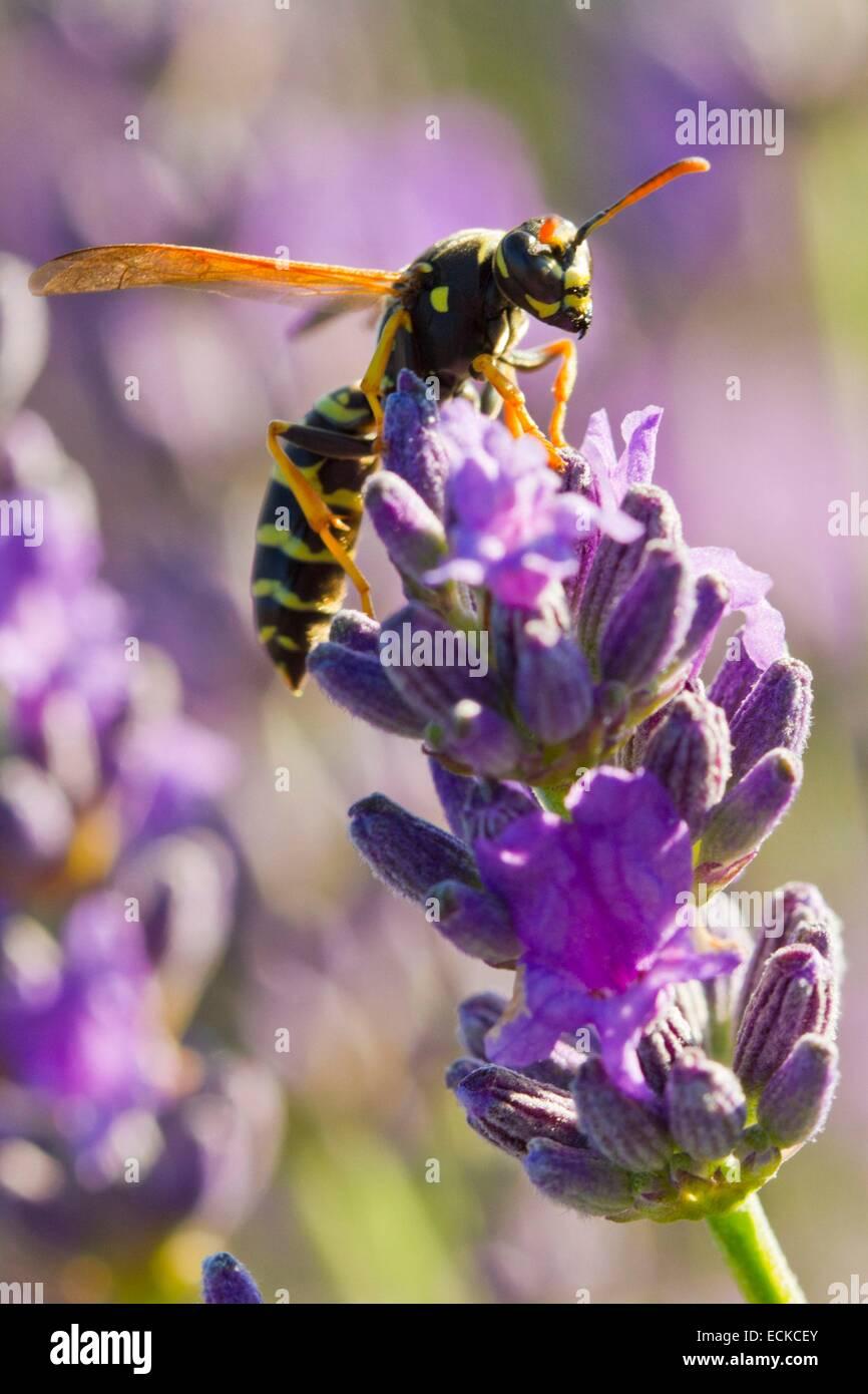 France, Vaucluse, Sault, common Wasp (Vespula vulgaris) on a sprig of lavender - Stock Image