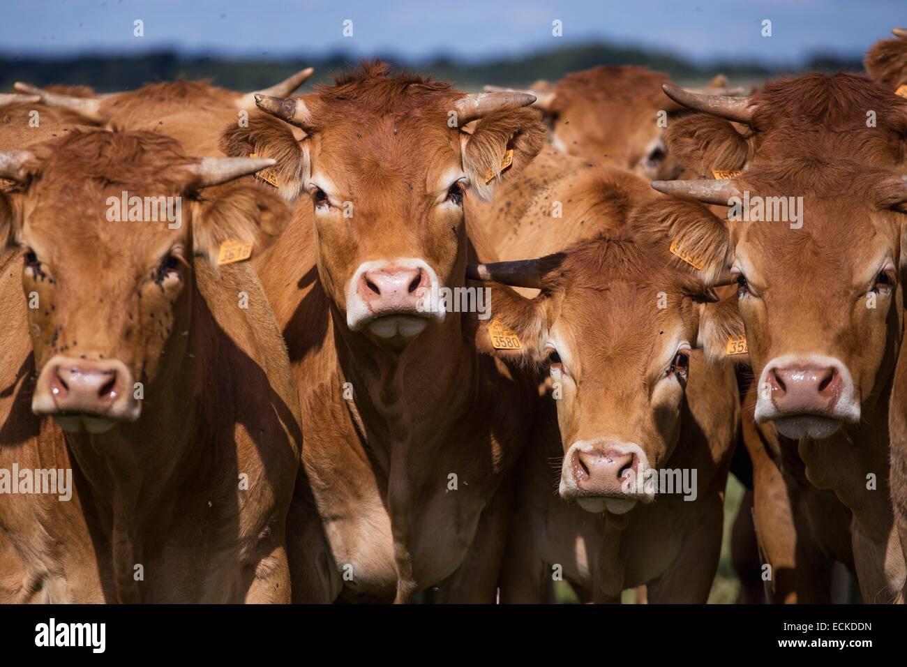 France, Charente, Limousine cows - Stock Image
