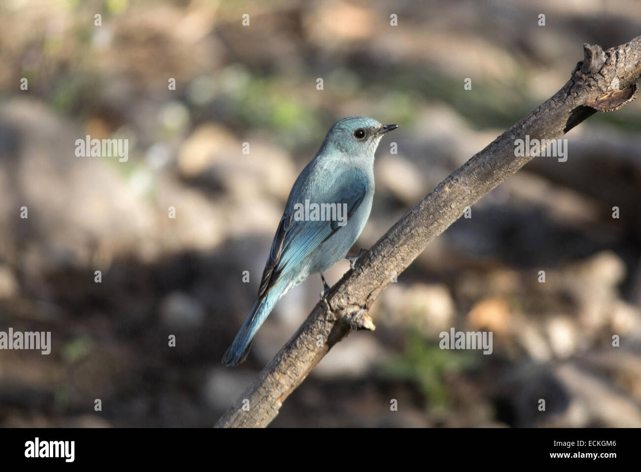 The verditer flycatcher (Eumyias thalassinus)is foundin the Indian subcontinent, especially in the Lower Himalaya. - Stock Image