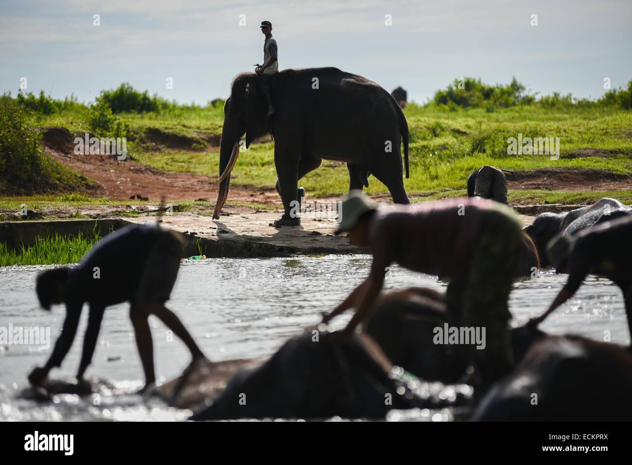Mahouts bathe Sumatran elephants in Way Kambas National Park, Sumatra, Indonesia. © Reynold Sumayku - Stock Image