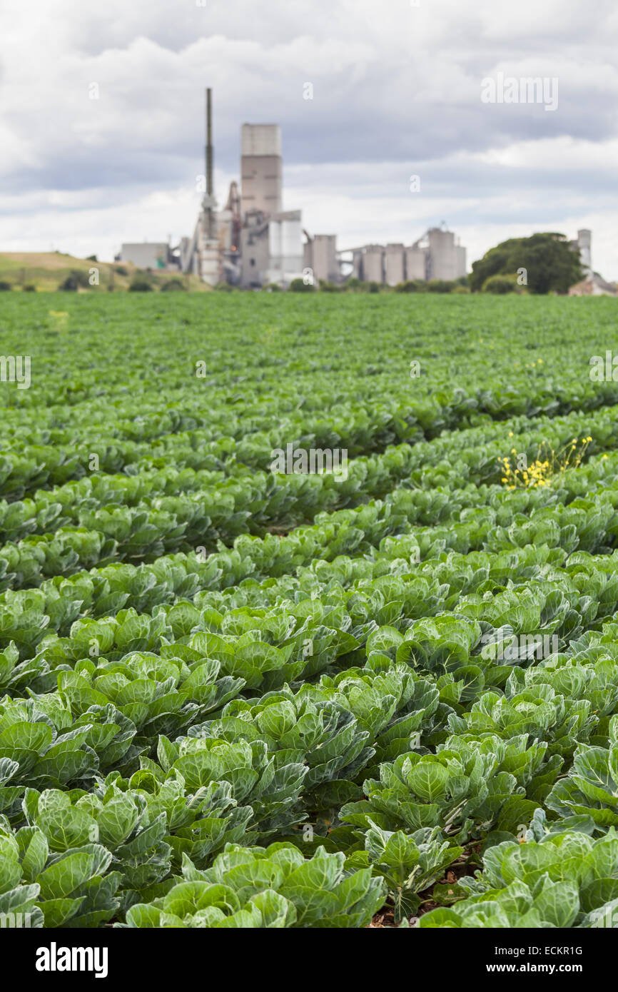 Field of cabbages growing near Torness nuclear power station, Lothian, Scotland - Stock Image