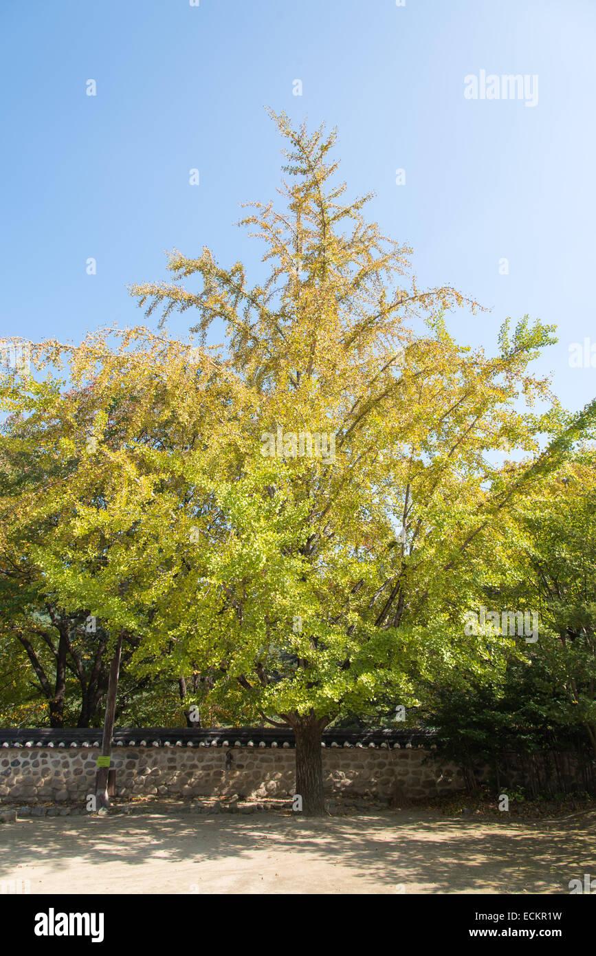 Big Ginkgo Tree Stock Photos & Big Ginkgo Tree Stock Images - Alamy