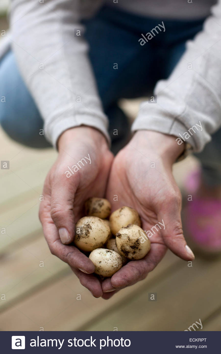 Cropped image of man holding freshly harvested potatoes at yard - Stock Image