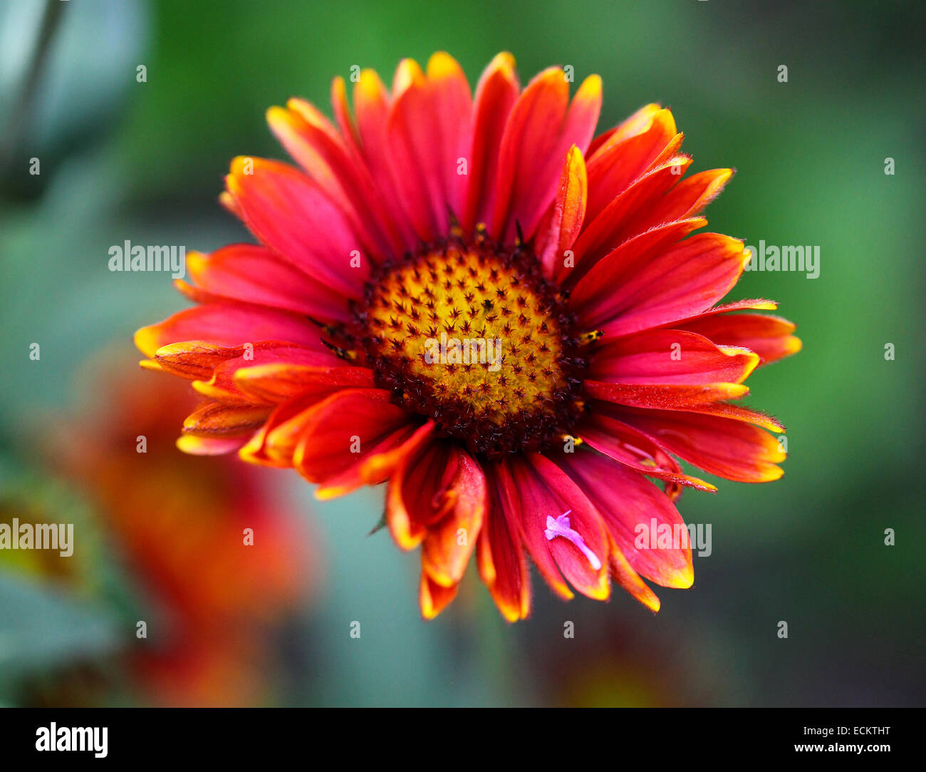 A Gaillardia 'Arizona Red Shades' flower with red and yellow tipped petals - Stock Image