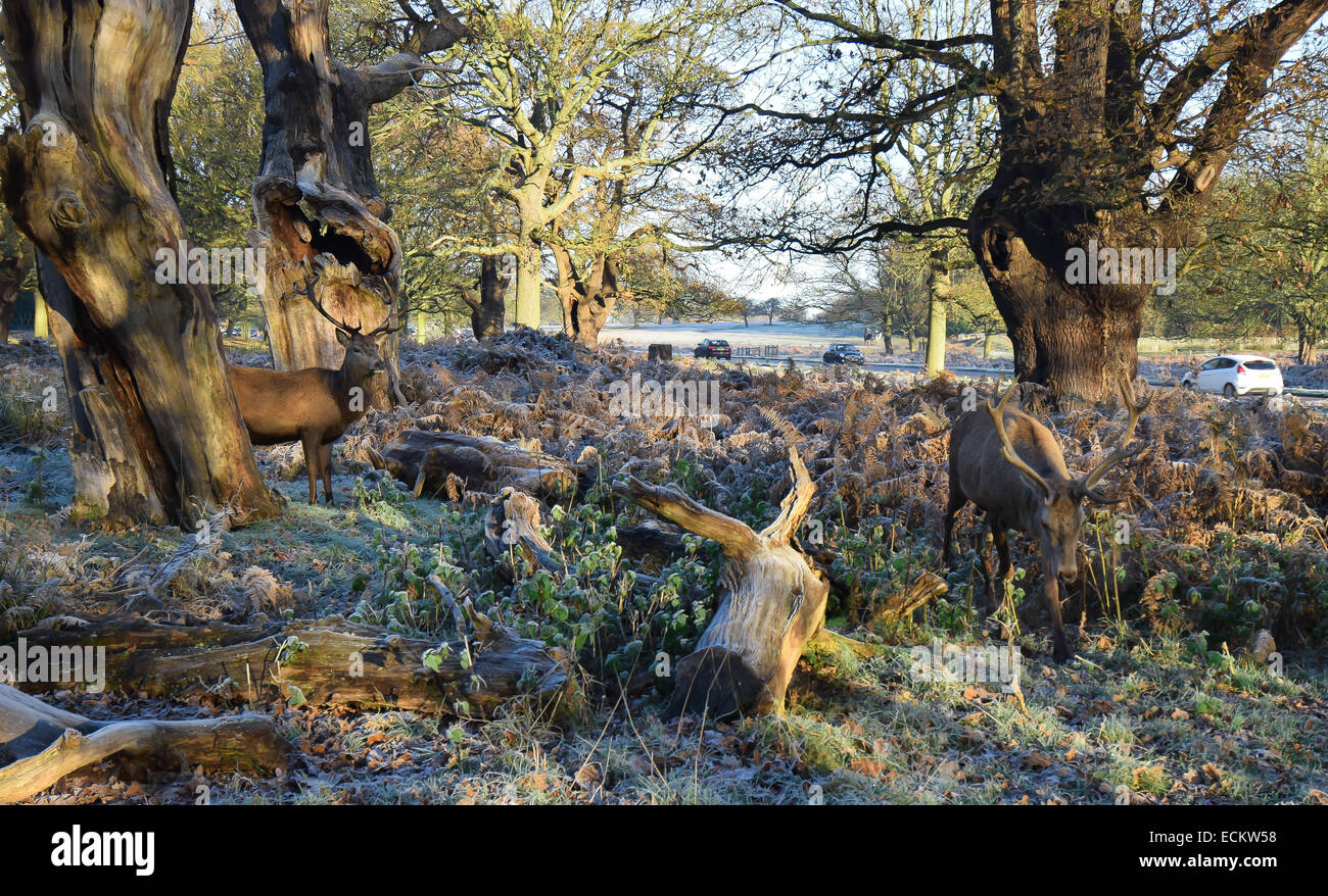 The dawn seen from Richmond Park in Surrey.Where dozens of deer roam freely undisturbed by everything going on around - Stock Image