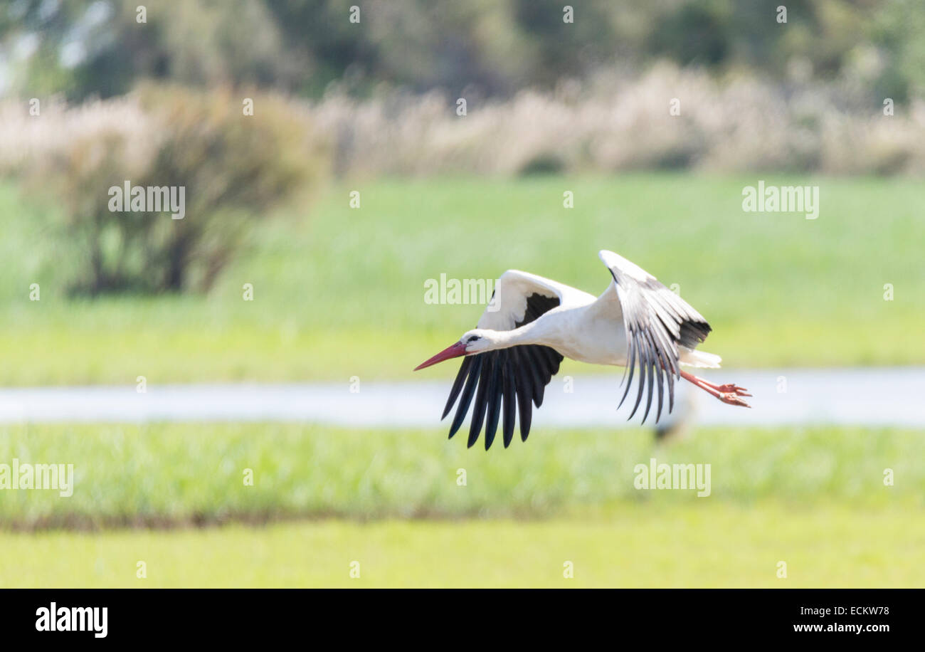 write stork, ciconia ciconia flying field Stock Photo