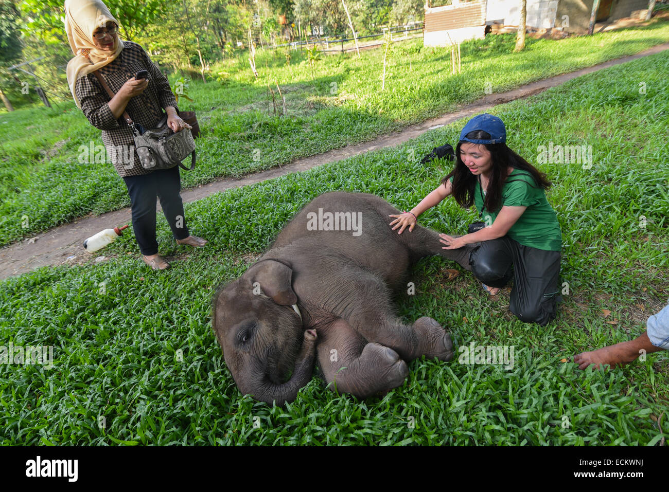 Conservation volunteers taking care of a Sumatran elephant infant named Yeti in Way Kambas National Park, Indonesia. - Stock Image