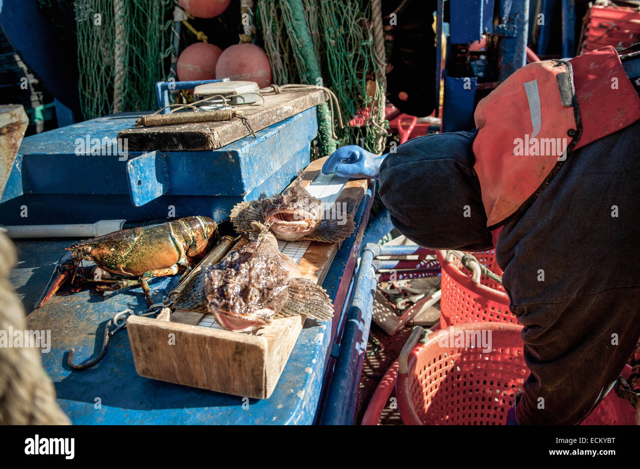 Longhorn Sculpin (Myoxocephalus octodecemspinosus) being measured by Fisheries Observer on fishing dragger. Stellwagen - Stock Image