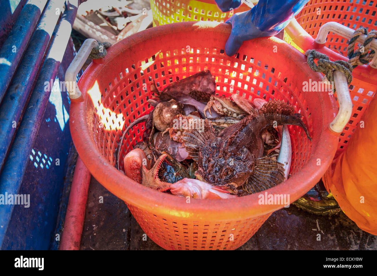 Bycatch of Longhorn Sculpin (Myoxocephalus octodecemspinosus), Starfish (Asterias rubens), and Crab (Cancer irroratus) Stock Photo