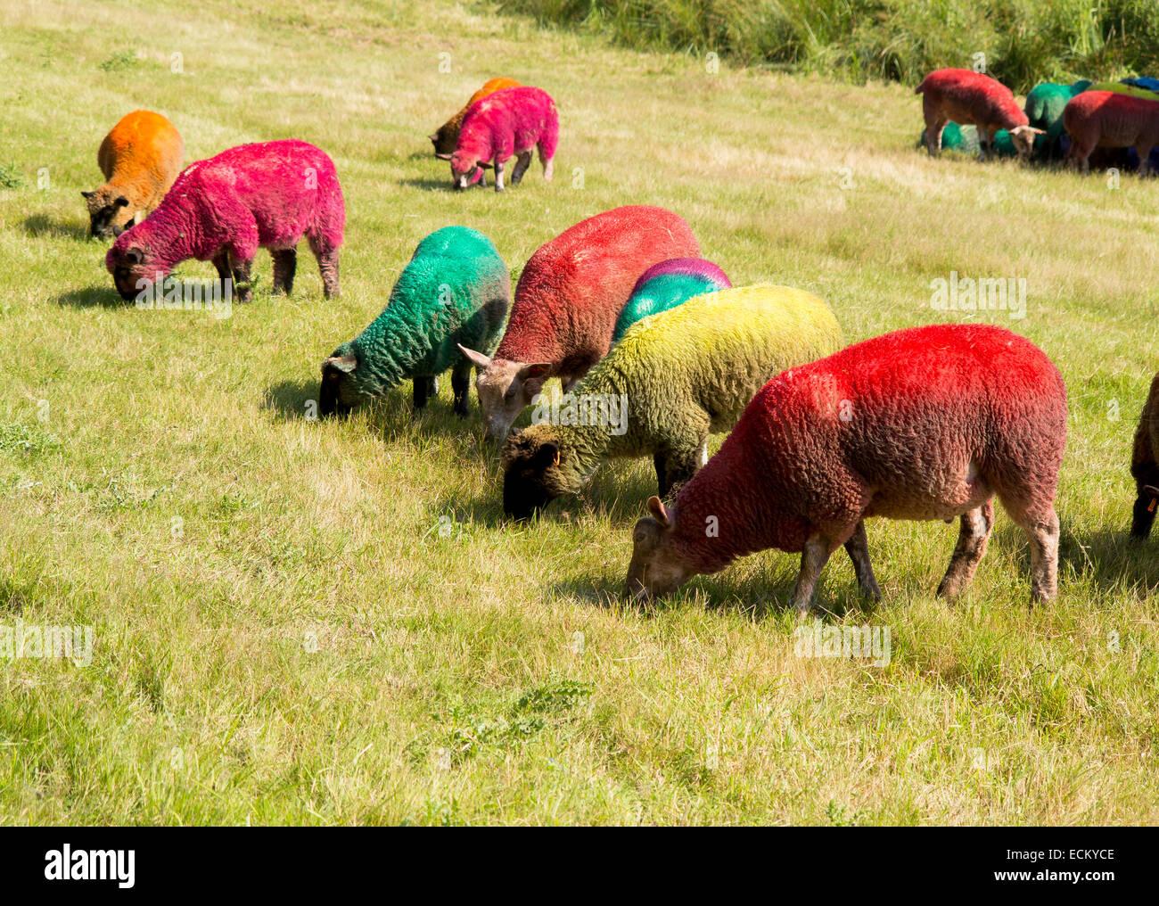 Latitude Festival, 18 July 2014: multicoloured sheep graze in a meadow, - Stock Image