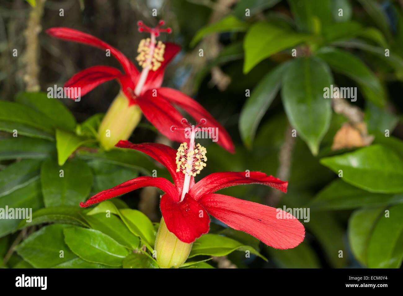 Hawaiian red hibiscus, Hawaiian hibiscus, hibiscus, Giant mallow, Rose Mallow, Hibiscus clayi, Hibiskus, Eibisch, - Stock Image