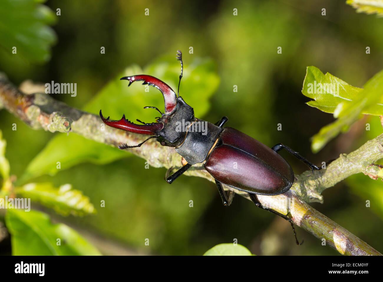 European stag beetle, stag-beetle, male, Hirschkäfer, Männchen, Lucanus cervus, Schröter, Lucanidae, Stag beetles Stock Photo