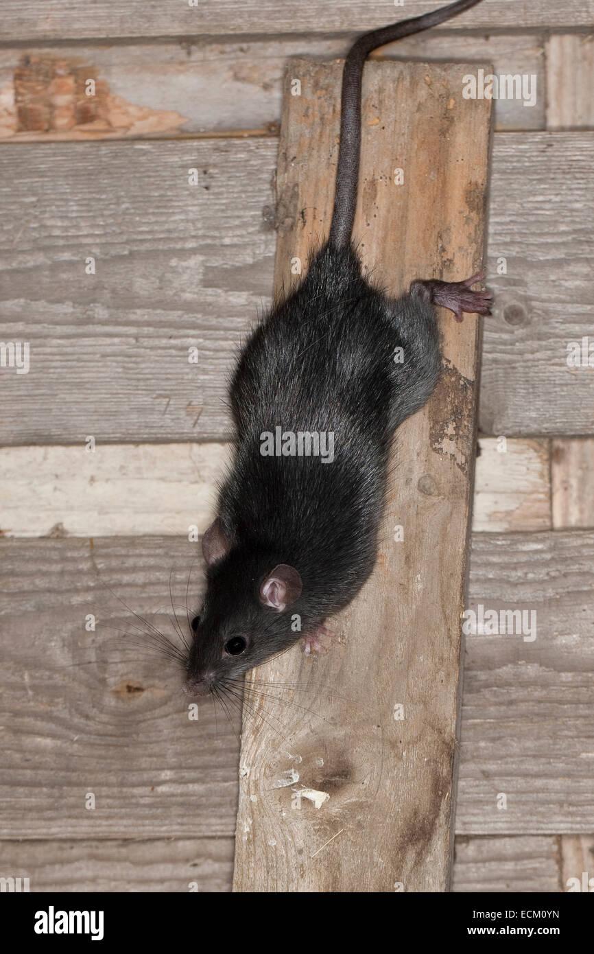 How To Reset Ecm >> Black rat, roof rat, house rat, ship rat, rats, Hausratte ...