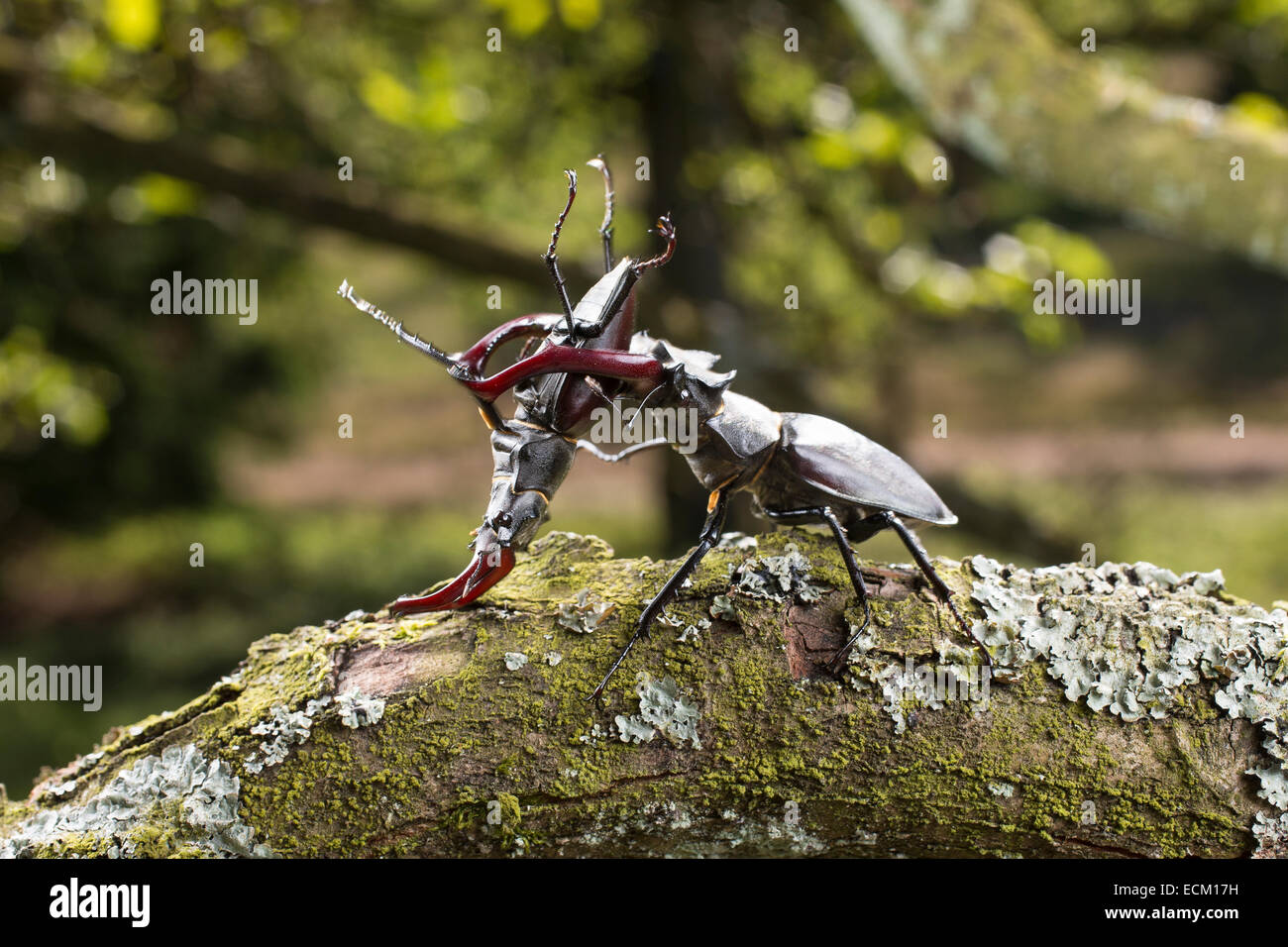 European stag beetle, stag-beetle, male, fighting, fight, duel, Hirschkäfer, Männchen, Kampf, kämpfend, - Stock Image