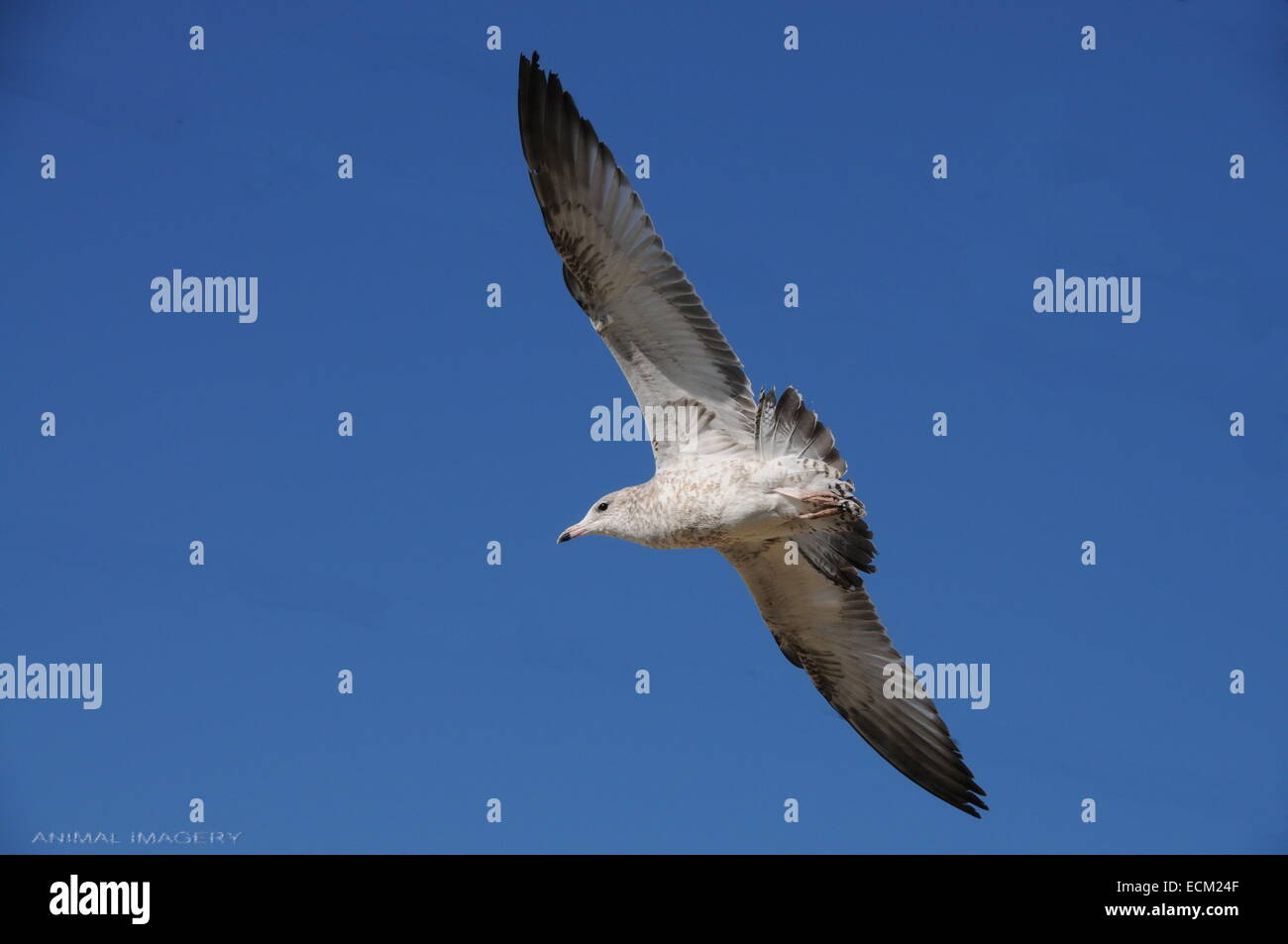 Seagull with wings fully extended. Bright blue sky. - Stock Image