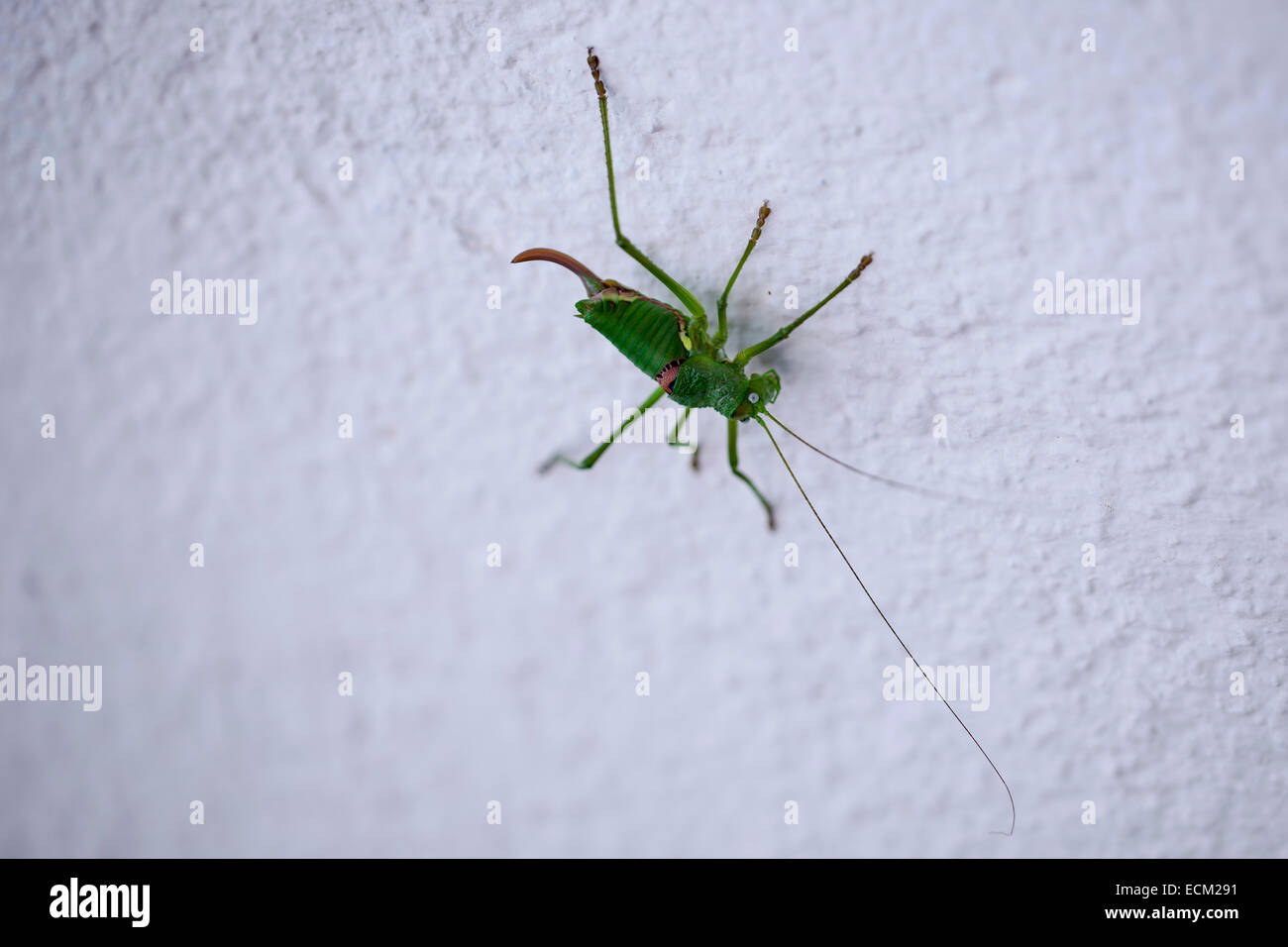 long horned grasshopper in a wall - Stock Image