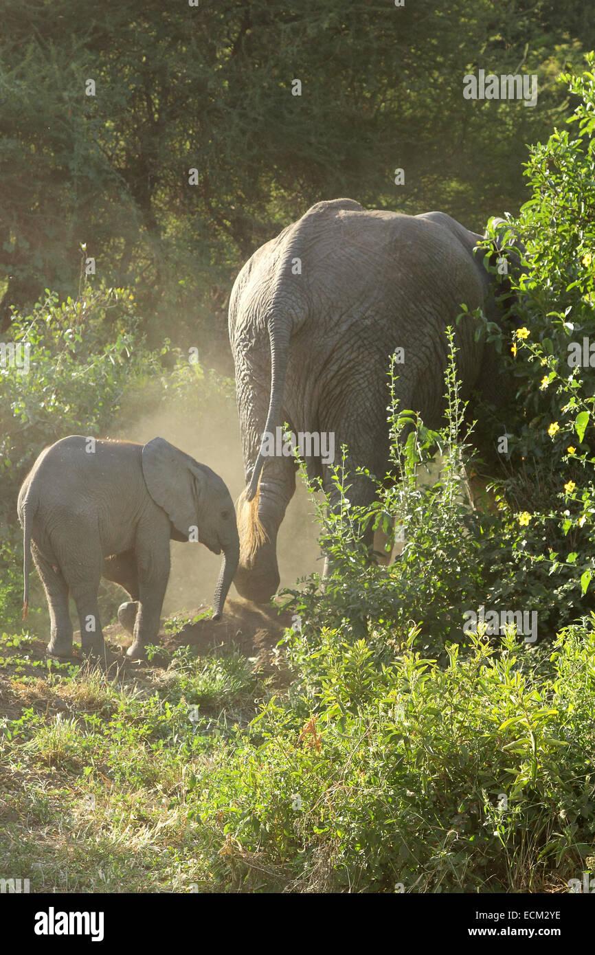 Baby african elephant (Loxodonta Africana) following the mother, Lake Manyara National Park, Tanzania - Stock Image
