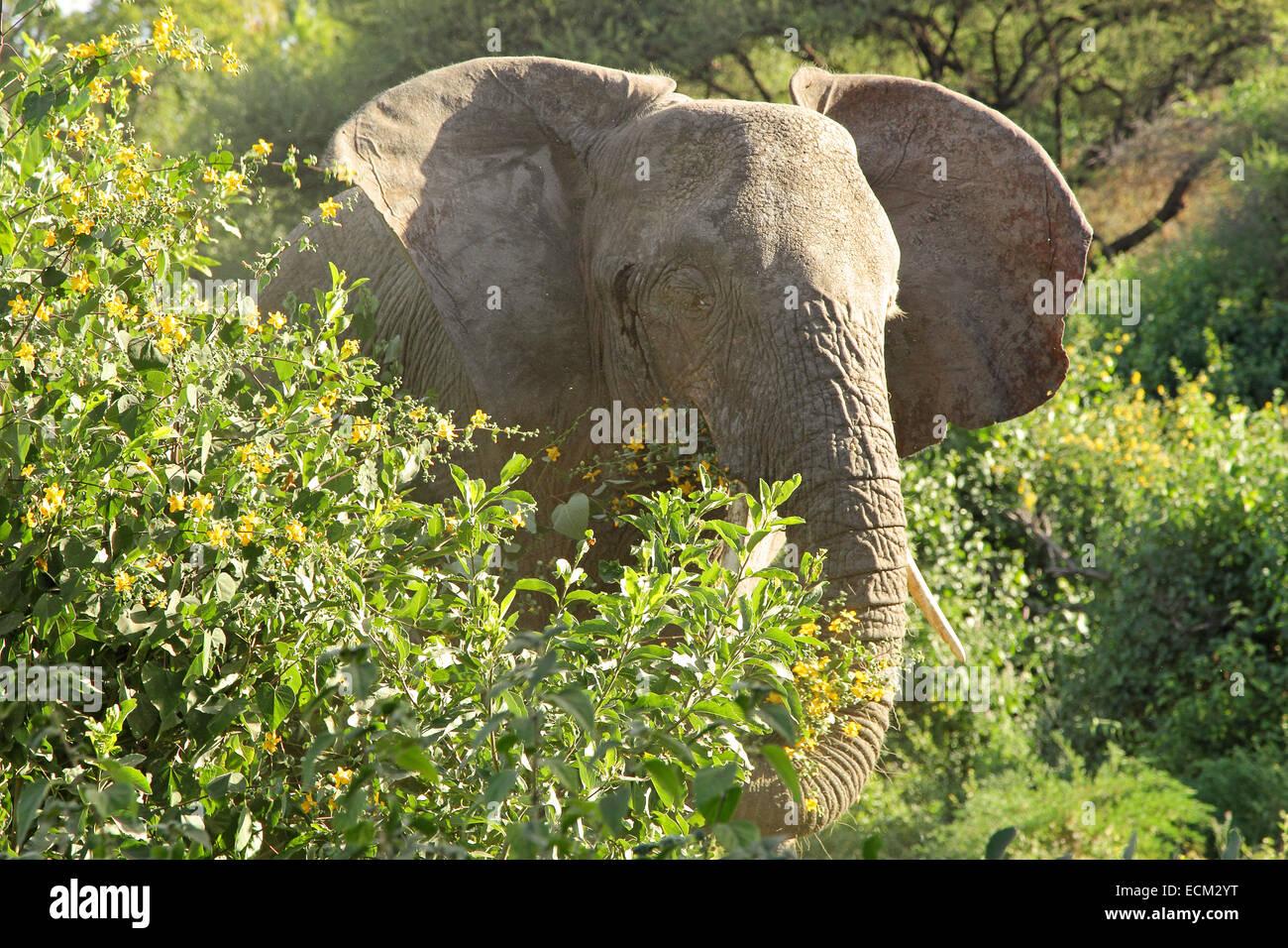 African elephant (Loxodonta Africana) eating leaves between vegetation, Lake Manyara National Park, Tanzania - Stock Image