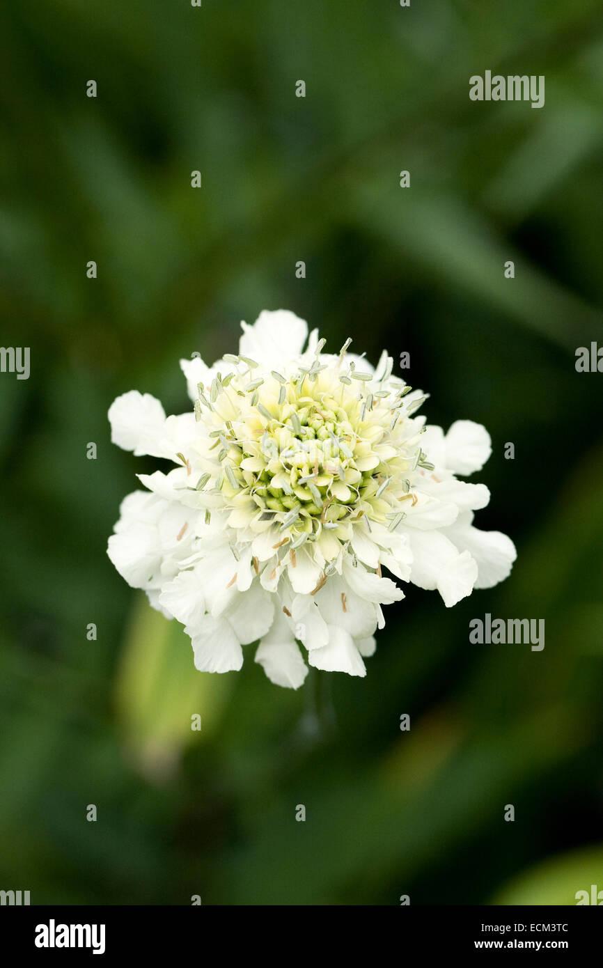 Cephalaria gigantea. Giant scabious flower. - Stock Image