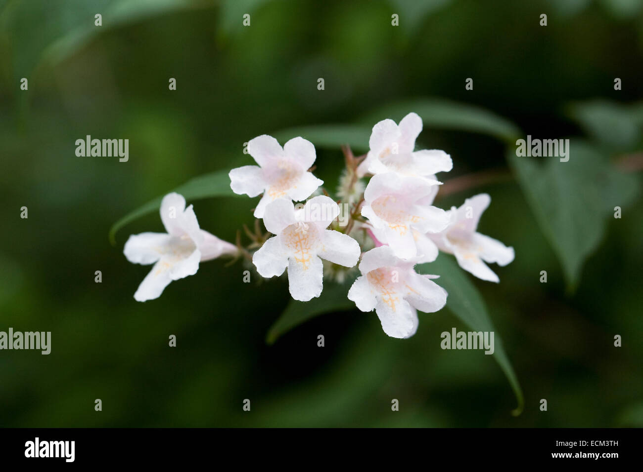 Dipelta floribunda. Rosy dipelta flowers. - Stock Image