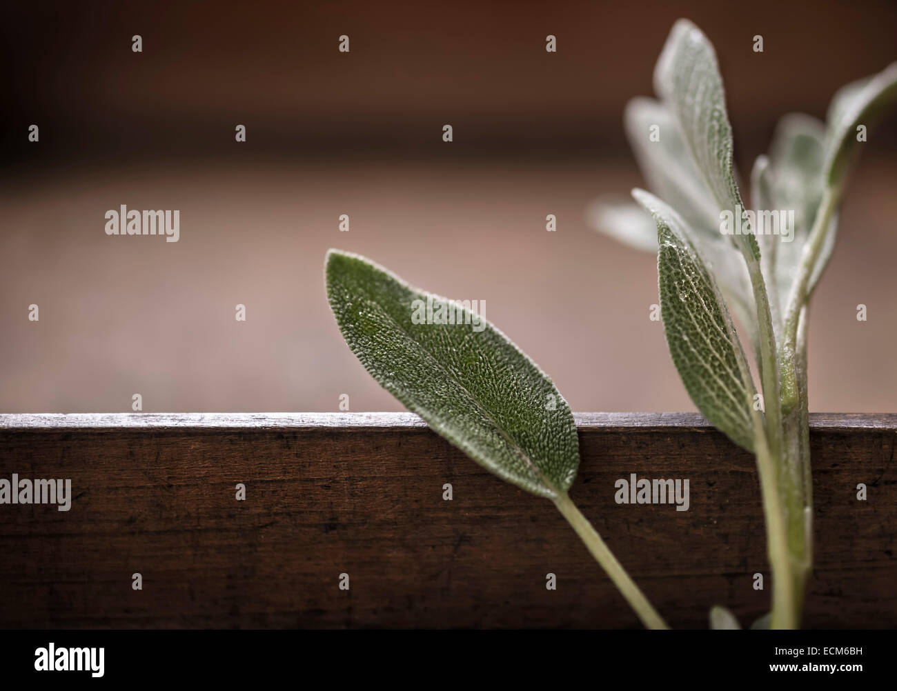 Sprig of fresh sage in a wooden tray. - Stock Image