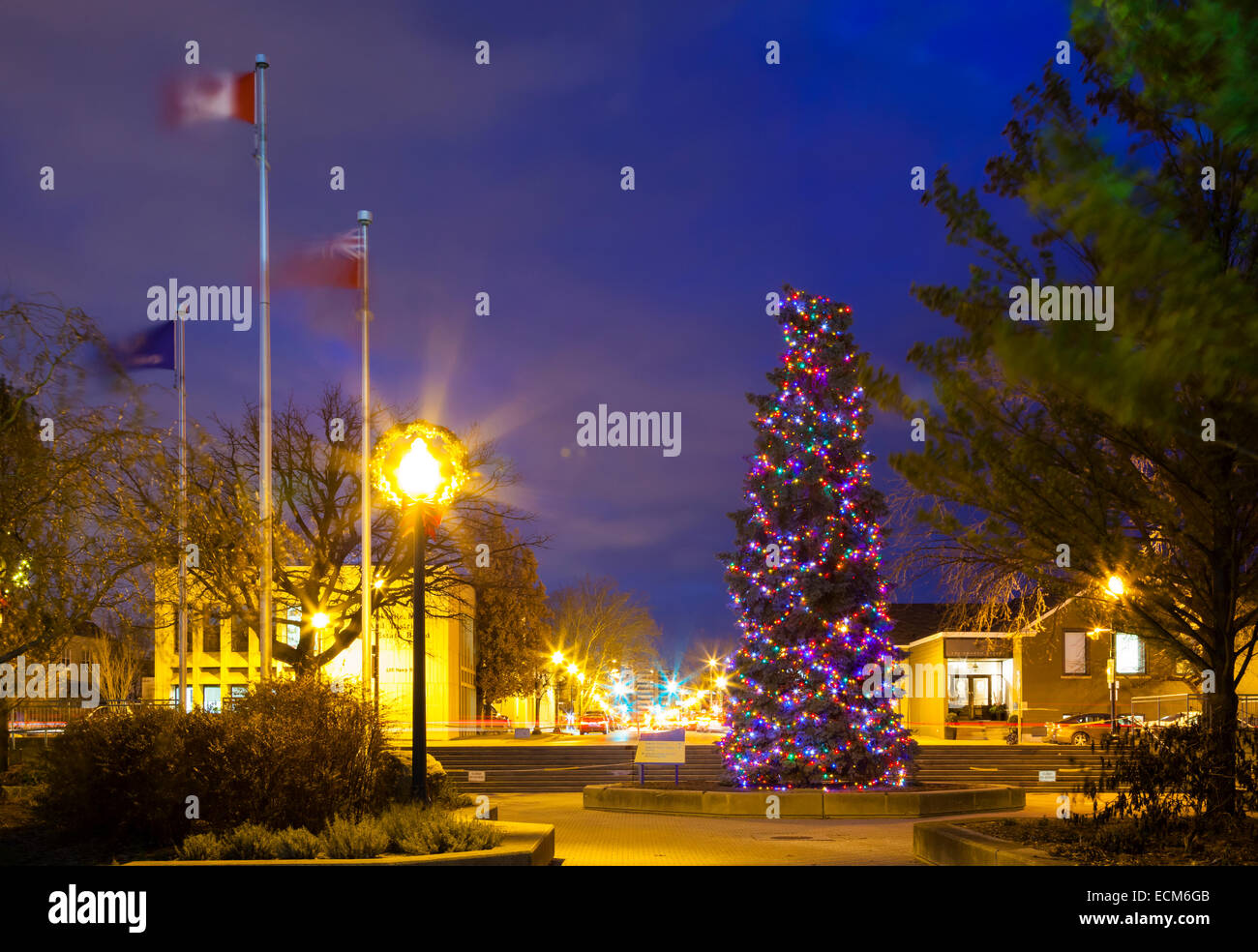 A very large Christmas Tree (Blue Spruce) covered in lights in downtown Oakville, Ontario, Canada. - Stock Image