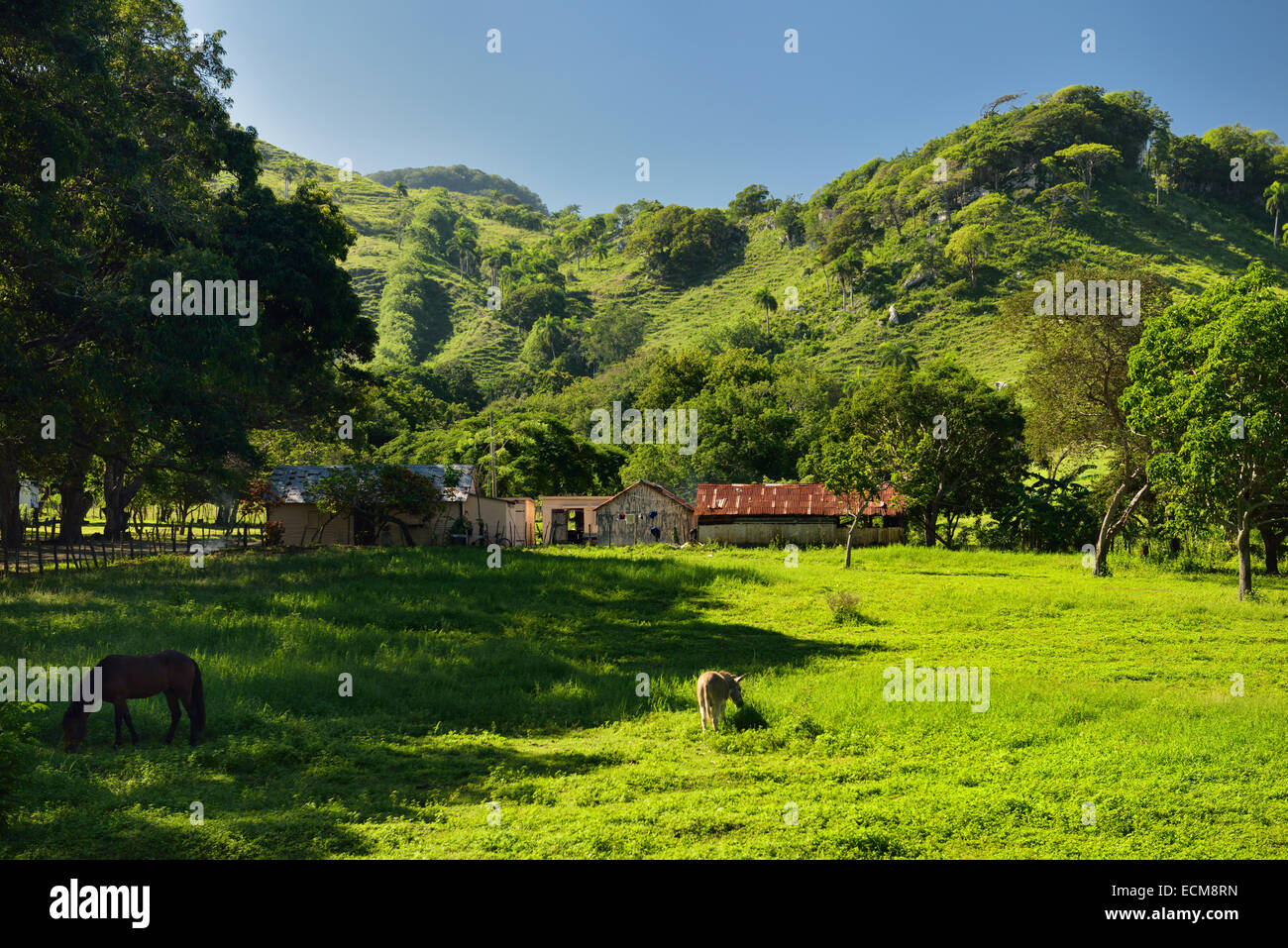 Horse and mule grazing green grass of ranch land beside a mountain west of Puerto Plata Dominican Republic - Stock Image