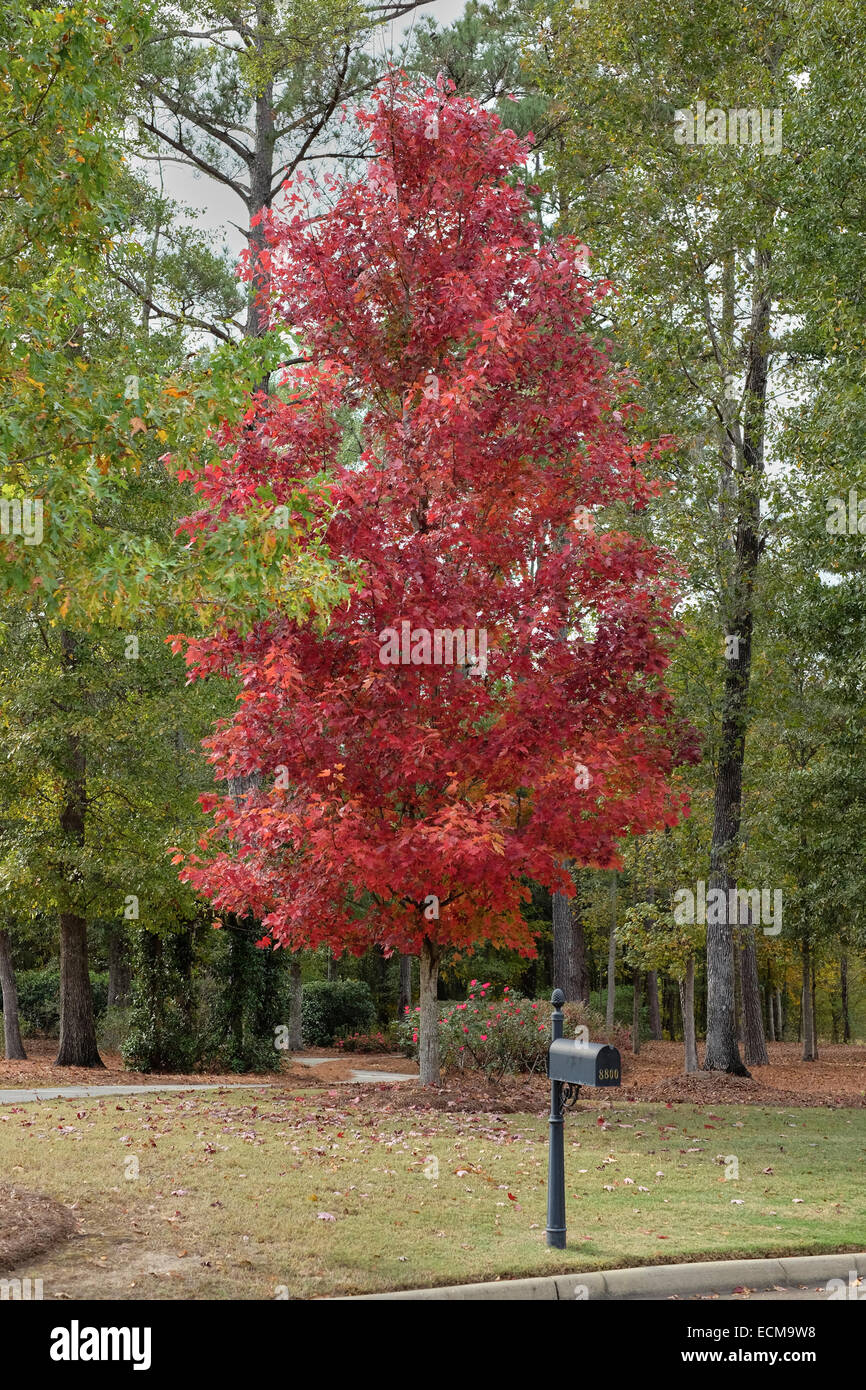 acer rubrum october glory maple tree showing it 39 s fall. Black Bedroom Furniture Sets. Home Design Ideas