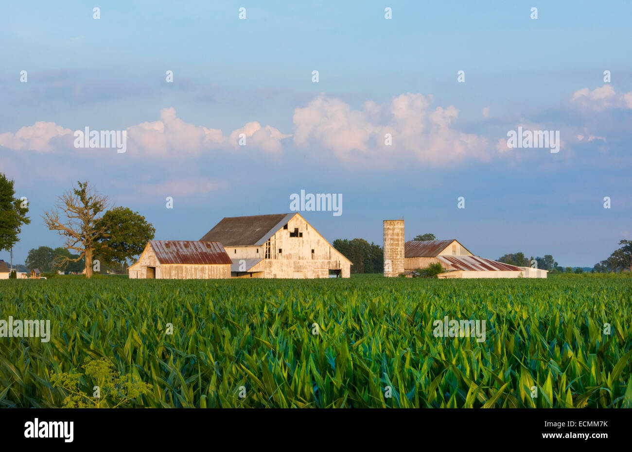Plain City Ohio farm with white barn and corn Midwest farming near Columbus - Stock Image