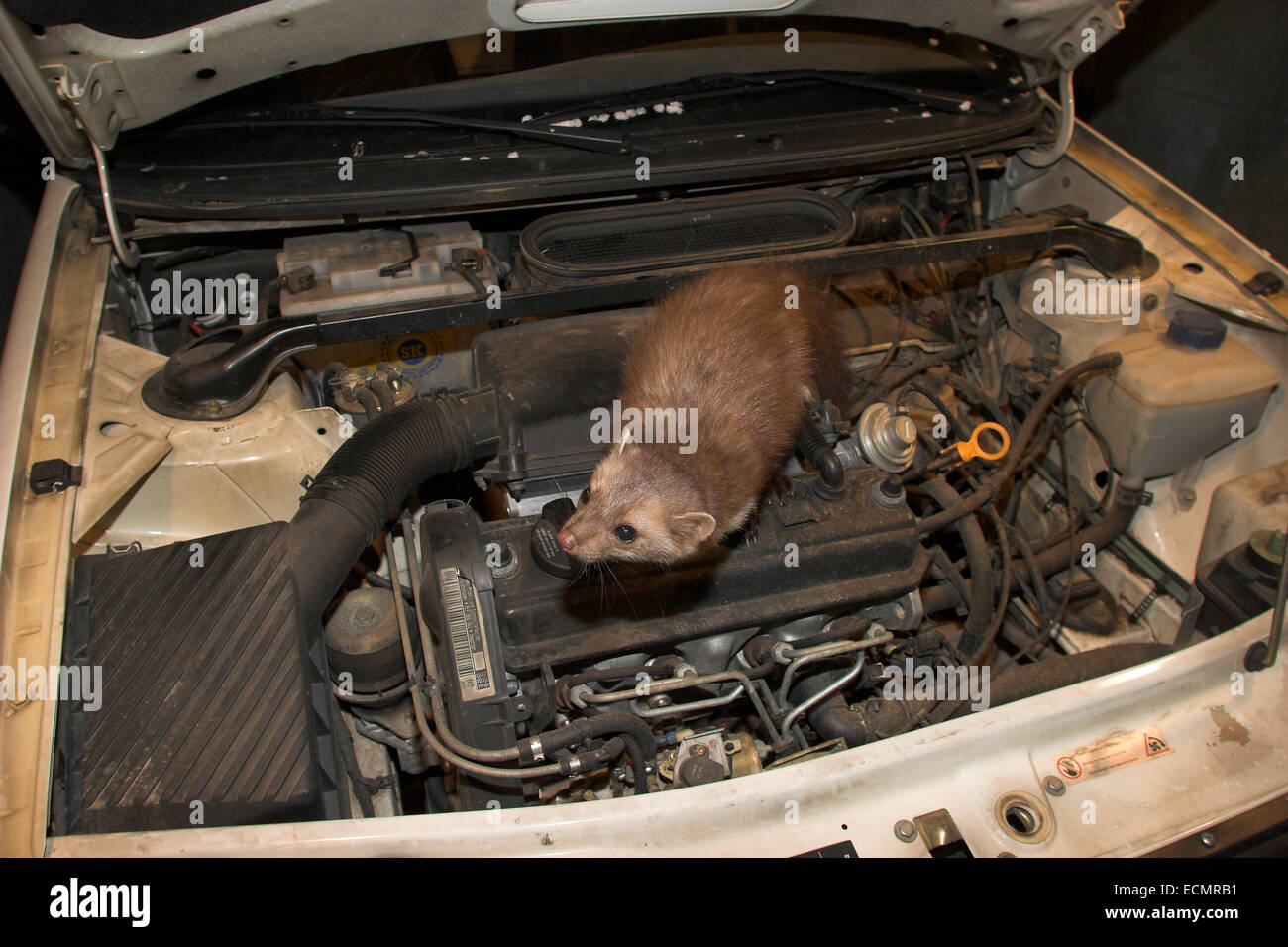 beech marten stone marten car burglar car thief steinmarder stock photo 76674725 alamy. Black Bedroom Furniture Sets. Home Design Ideas