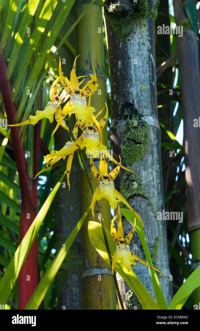 Hilo Hawaii Big Island Panaewa Rain Forest Zoo and Gardens orchid green peaceful - Stock Image