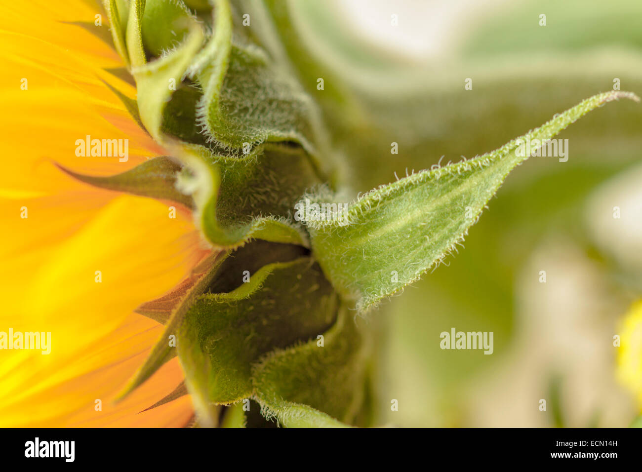 Macro of the hairy leaves of a Sunflower - Helianthus annuus, against an unfocused background. - Stock Image