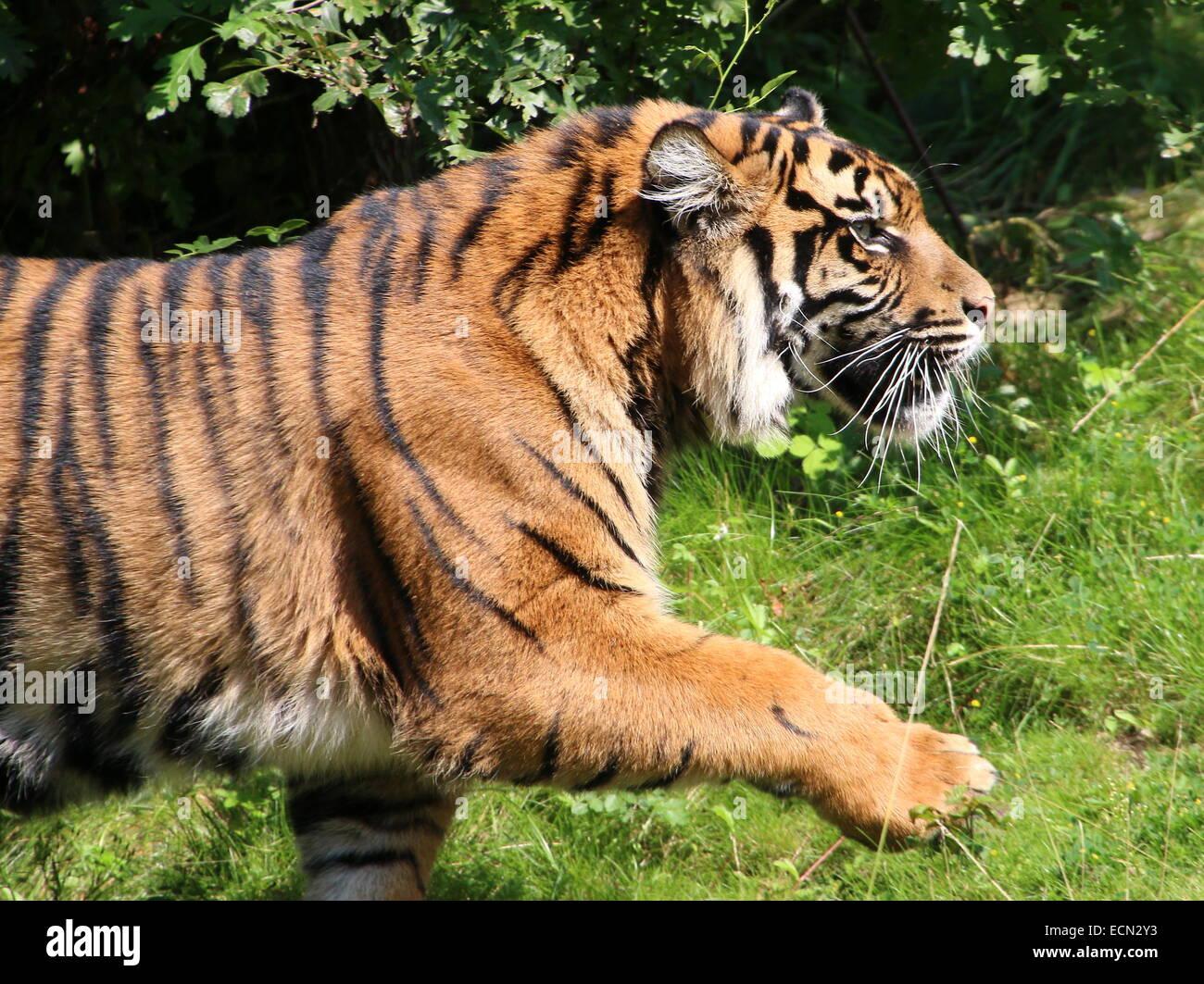 Snarling male Sumatran tiger (Panthera tigris sumatrae) walking by at close range, paw lifted in the air - Stock Image