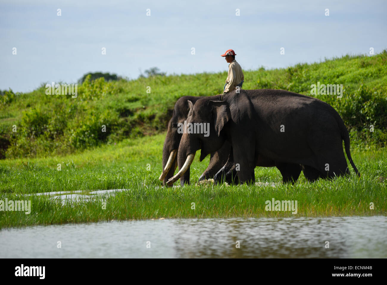 A Mahout (elephant keeper) take the elephants in his responsibility to start daily routines in Way Kambas National - Stock Image